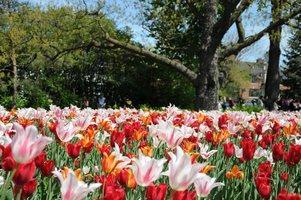 En mai dans la capitale, ne manquez pas ces tulipes dignes d'Instagram