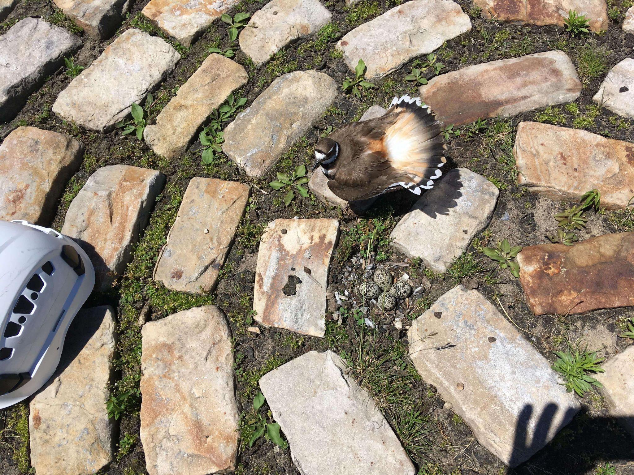 Regard d'une biologiste sur le nid nommé #Bluesnest