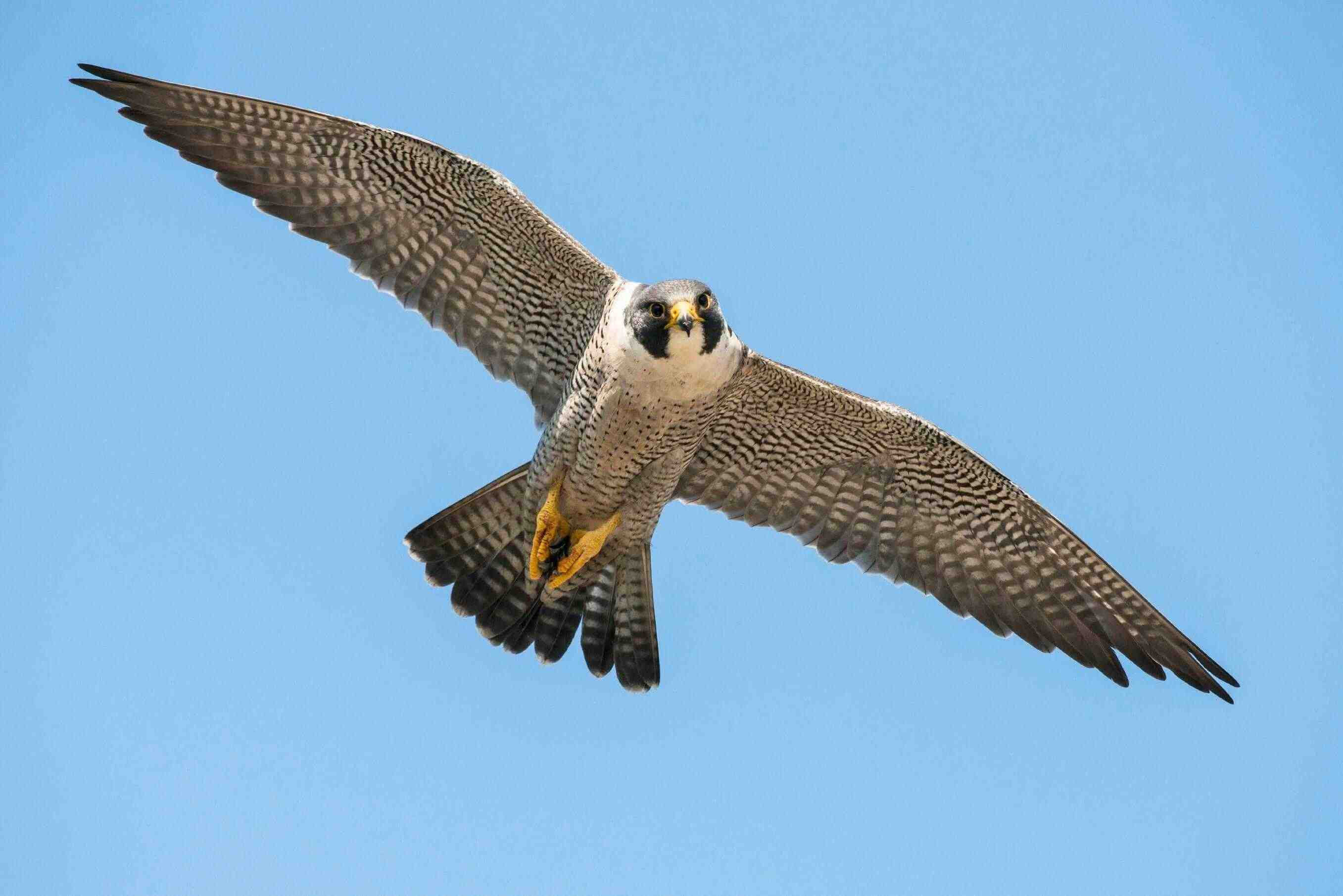 It's Peregrine Falcon Nesting Season in Gatineau Park