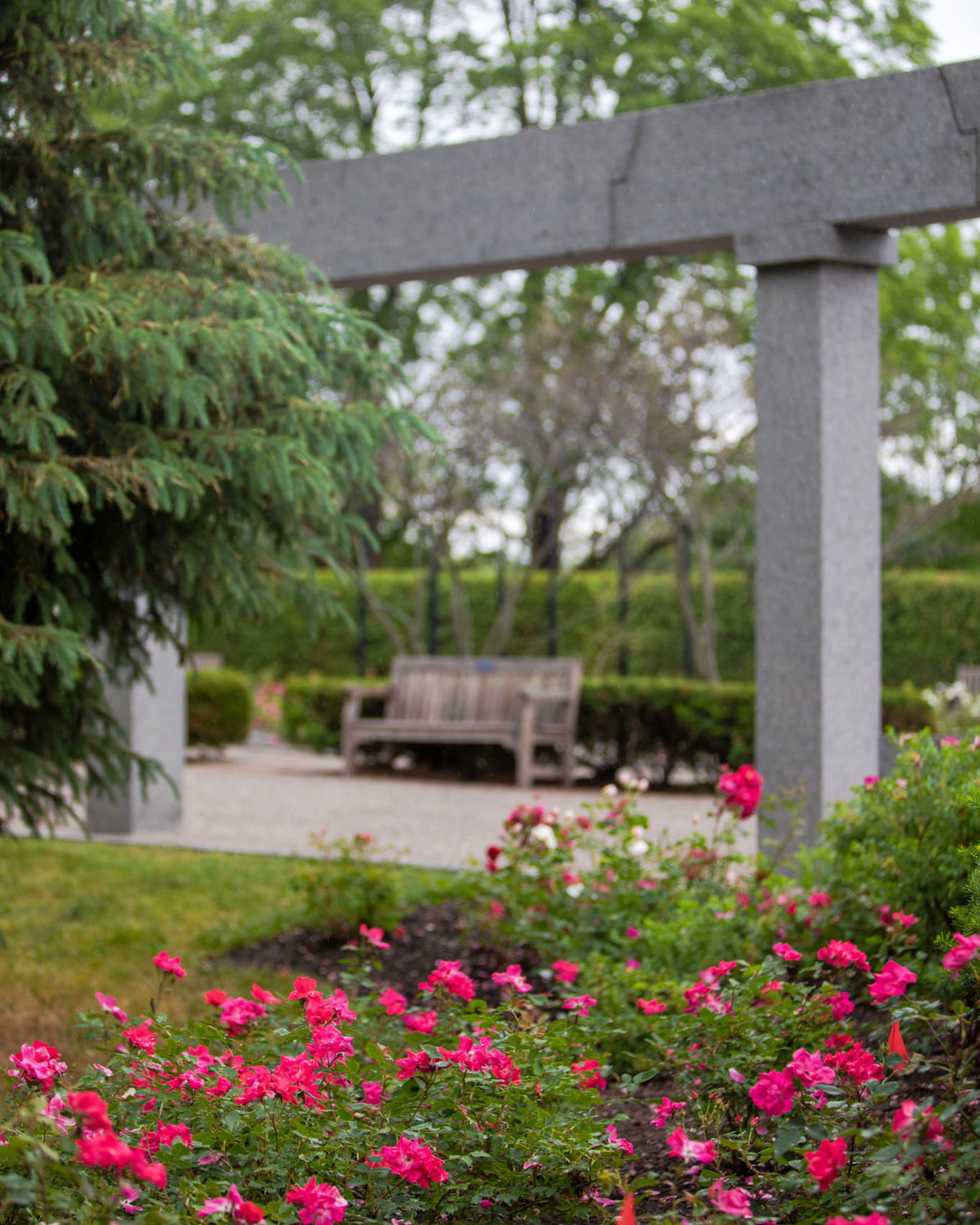 Bright pink rose bushes in the foreground, with marble columns, mature trees and a bench in the background.