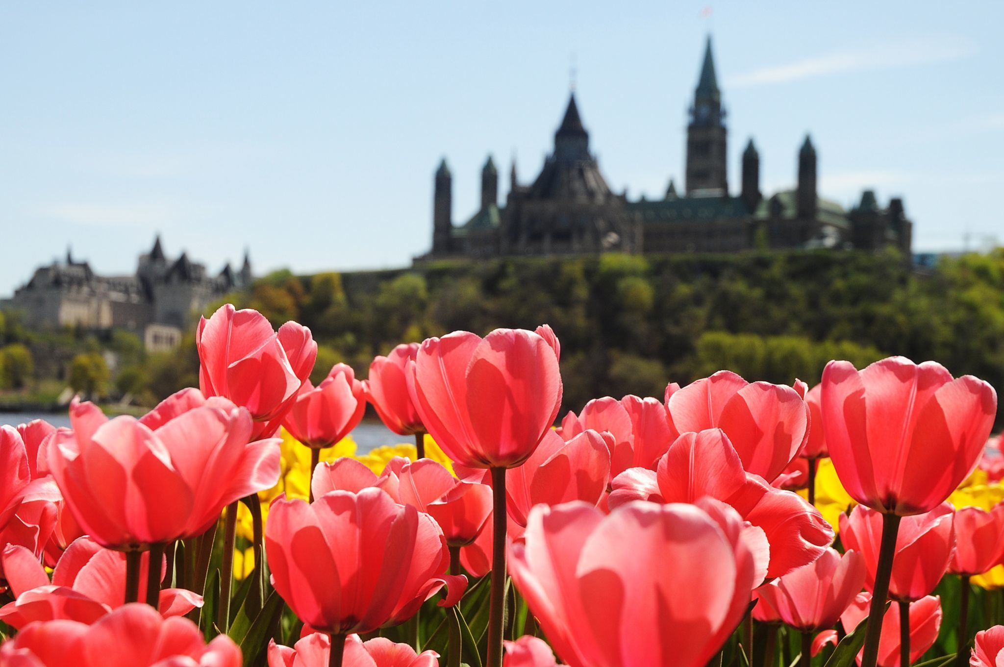 Tulips with the Parliament building in the background