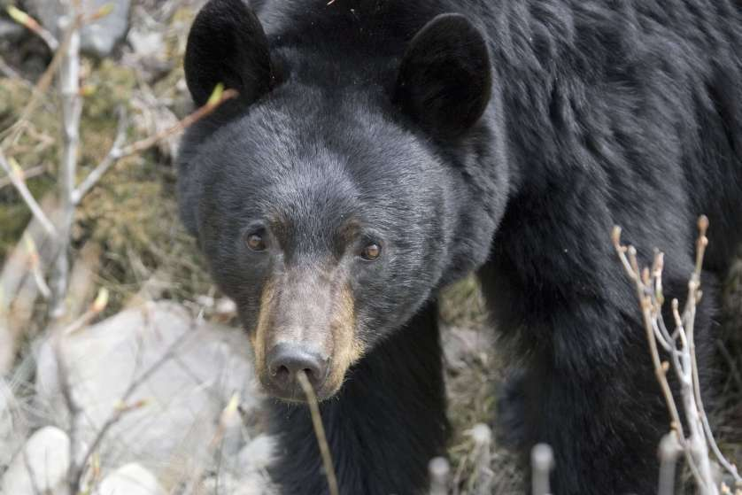 Black bears survive on their fat reserves during the winter