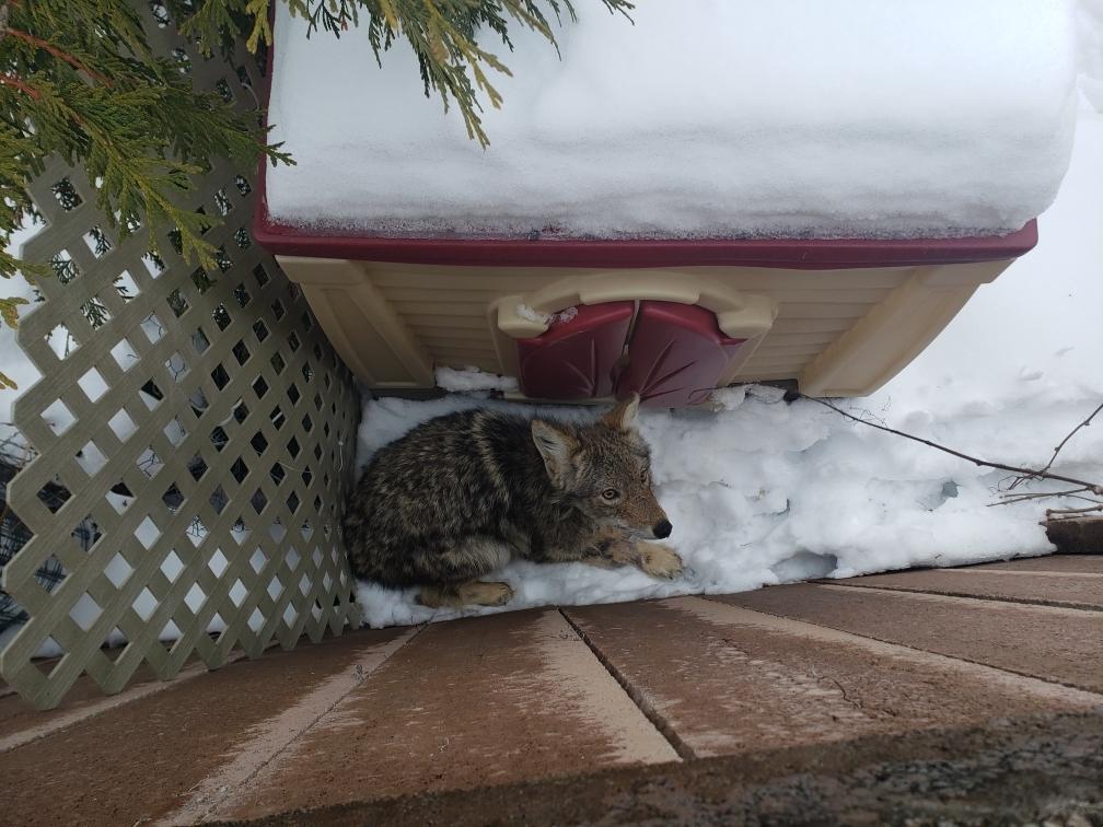 coyote visiblement apeuré dans une cour résidentielle