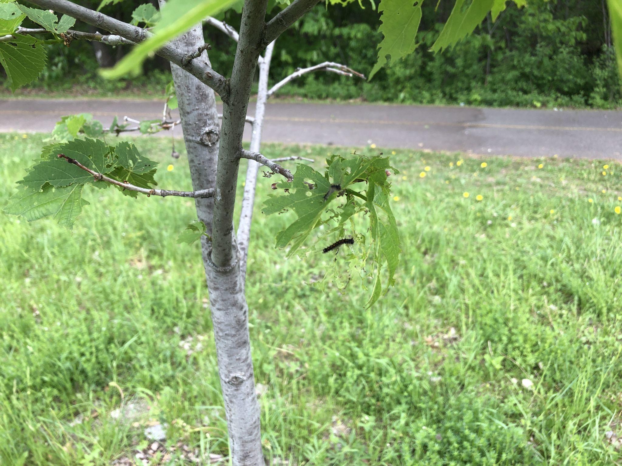 Défoliation d'un tilleul d'Amérique (Tilia americana).