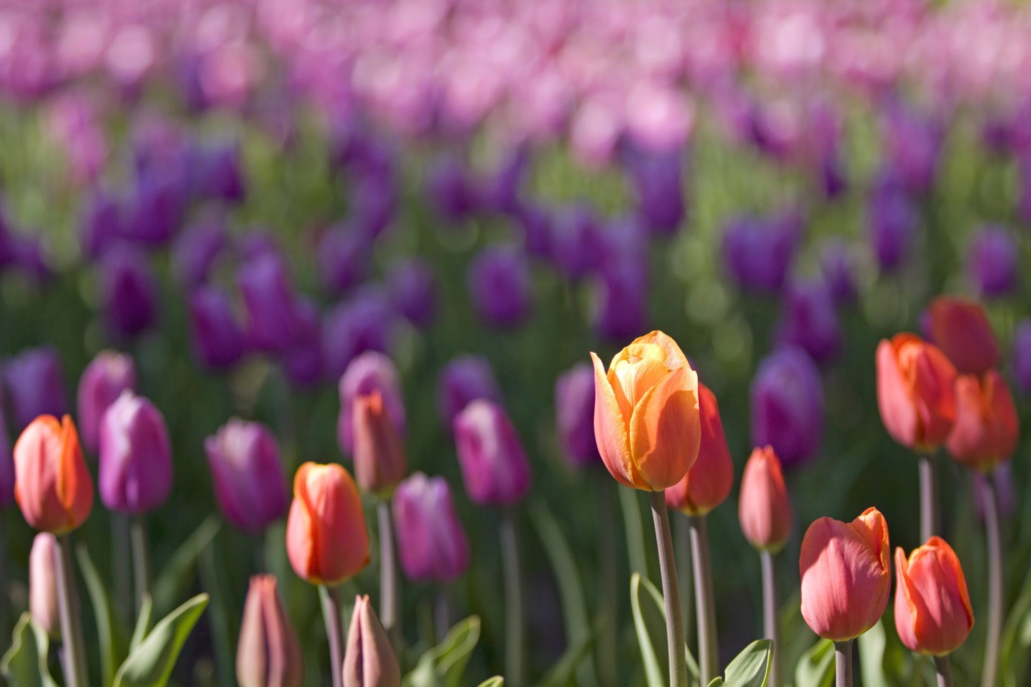 Close up of violet tulips