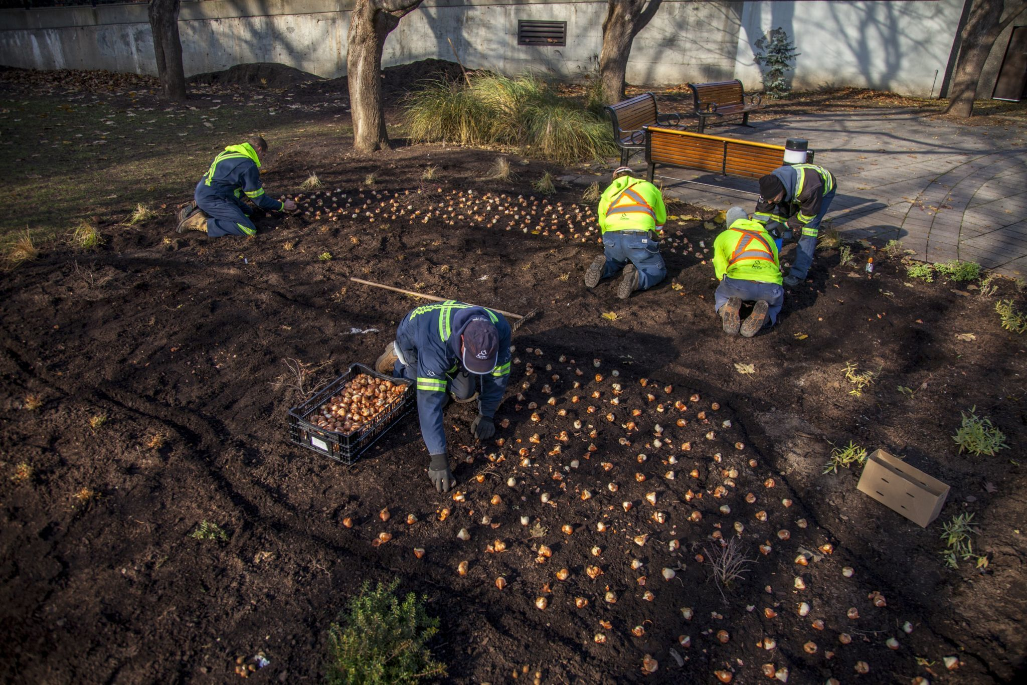 Employees at work, planting tulip bulbs