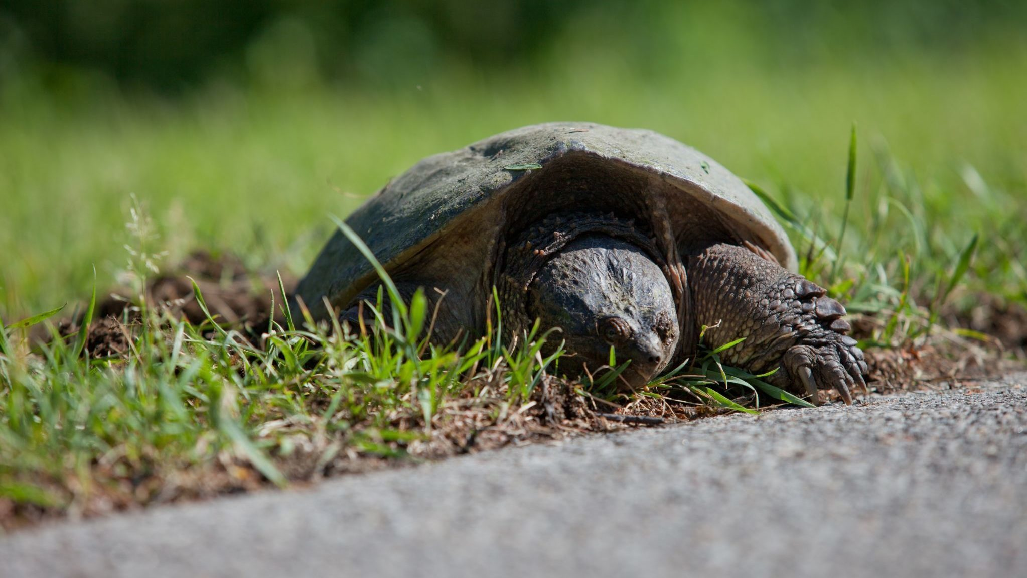 Turtle about to cross a road in Gatineau Park