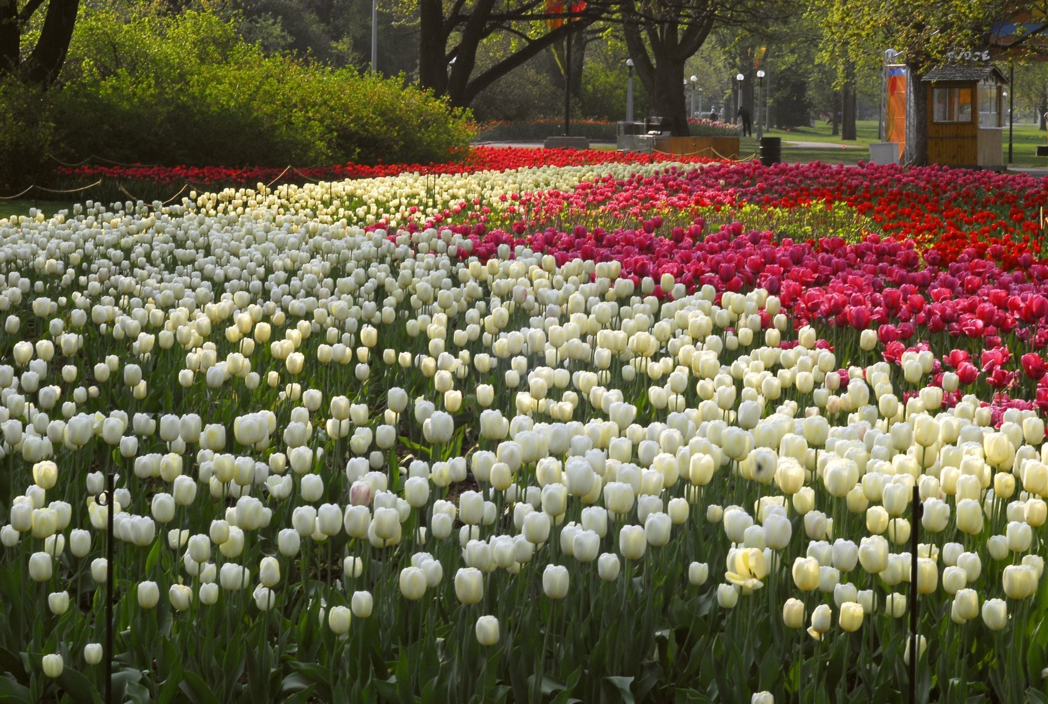 Large and very packed tulip beds