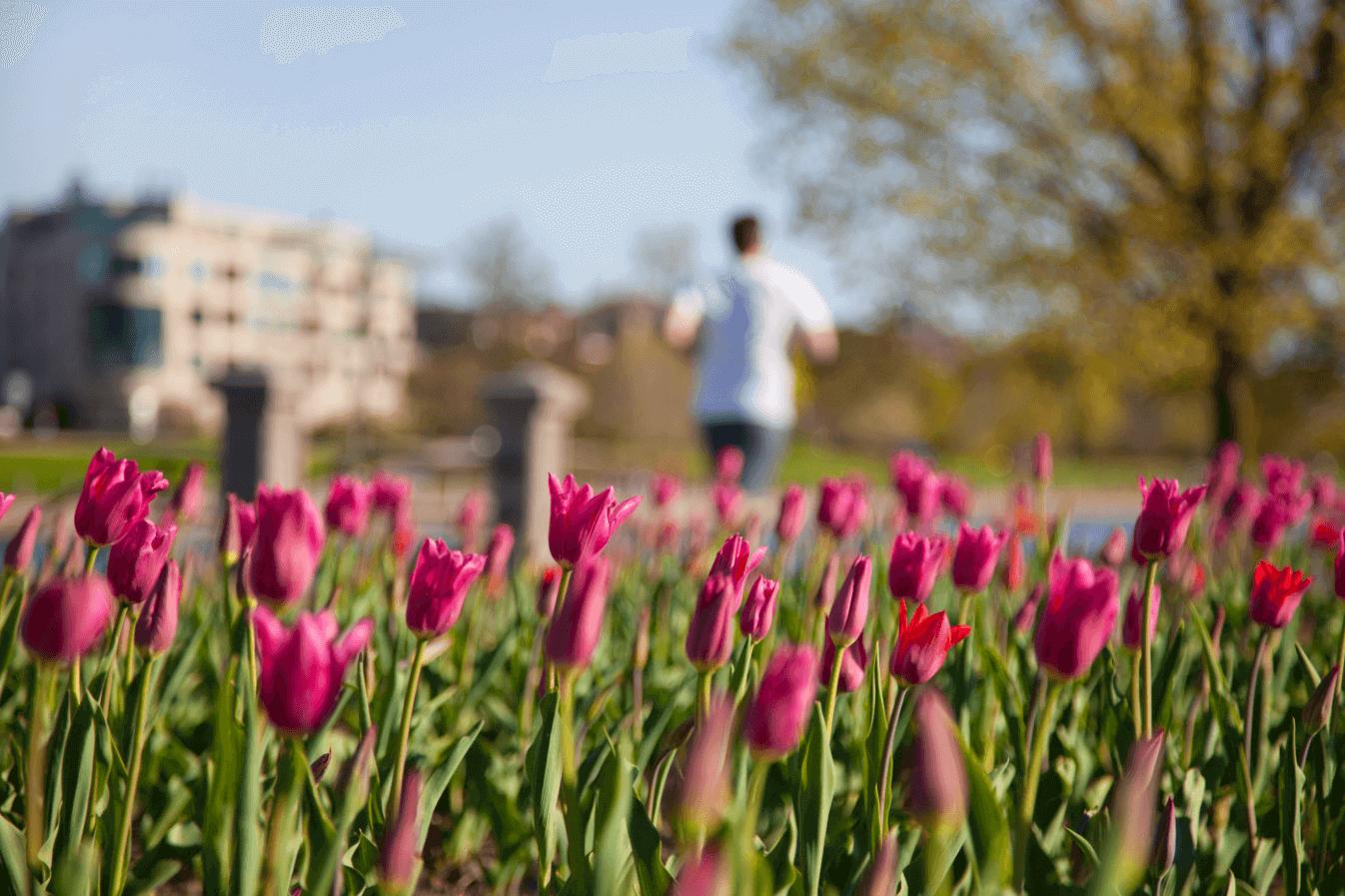 Tulipes rose en avant-plan, arbre, joggeur et bâtiments en arrière-plan