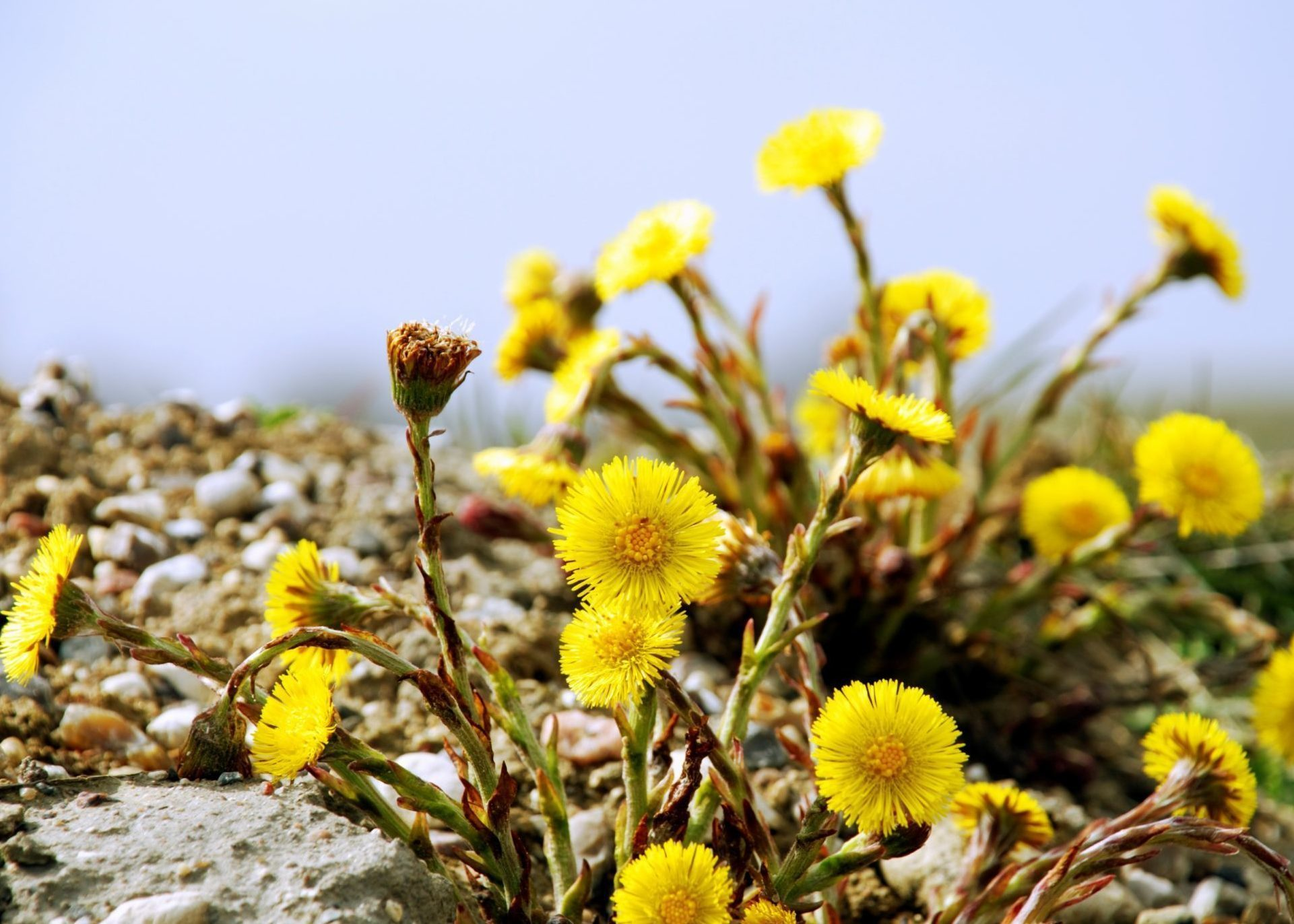 Delicate yellow flowers resembling small dandelions.