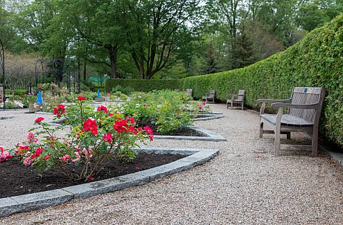Wooden benches against a cedar hedge, facing flower beds with pink and red roses.
