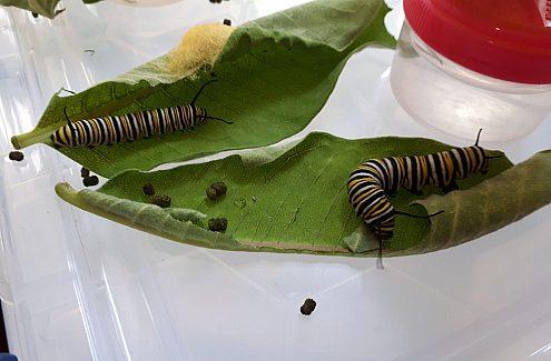 Exposition de papillon au Centre des visiteurs du parc de la Gatineau