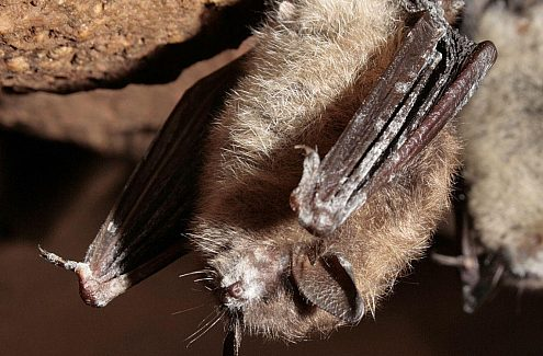 The study of bat species at risk by Gatineau Park biologists.