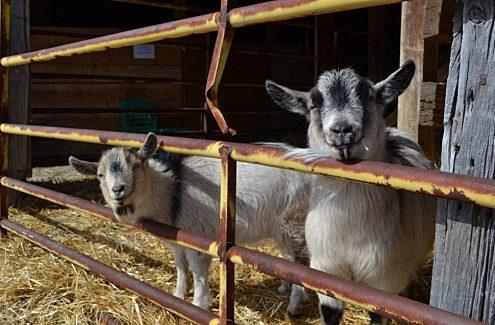 Visite des animaux de la ferme