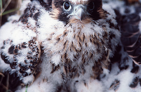 Un jeune faucon pèlerin