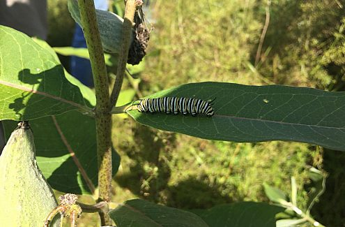 Monarch butterfly monitoring