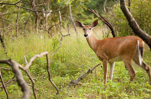Cerf de Virginie dans la forêt, en été, dans le parc de la Gatineau