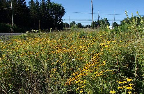 Site 3 (après, 2019) : Champ couvert de rudbeckies hérissées, de grandes fleurs jaunes à centre brun foncé.