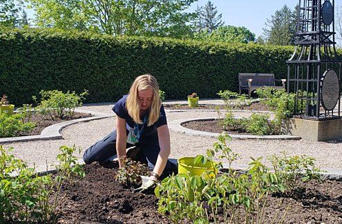 Étudiante plantant de nouveaux rosiers dans les platebandes.