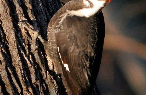 A pileated woodpecker