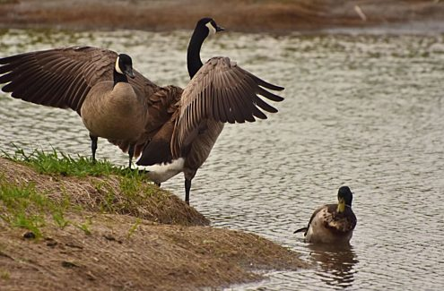 Canada geese and mallard