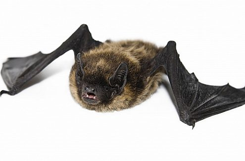 The little brown myotis
