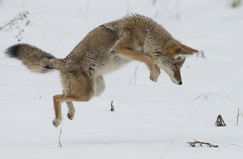 Un coyote sautant dans la neige pour trouver de la nourriture
