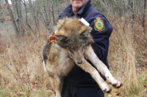 An employee with a coyote during a special operation