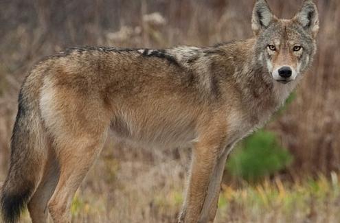 Un coyote
