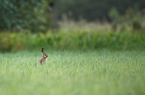 A hare in a high grass field