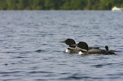 common loon monitoring