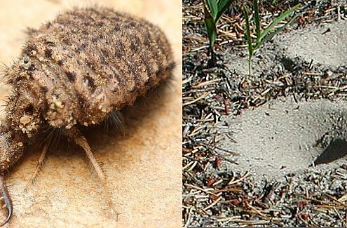 Antlion and its trap