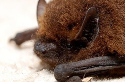 The tri-coloured bat, source: G. San Martin