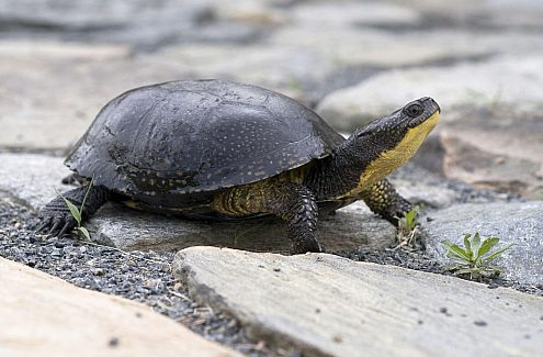La tortue mouchetée : recherchée!