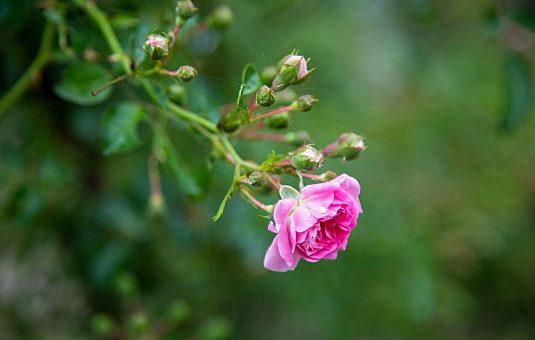 The Canadian Heritage Garden: Canada in bloom