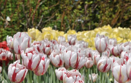 The Canada 150 Tulip Was a Labour of Love and National Pride