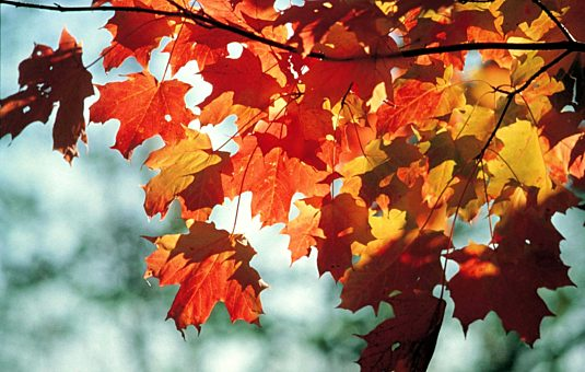 Orange and red coloured leaves against a teal background.