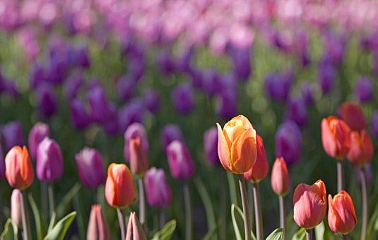 Six choses que vous ne saviez pas sur les tulipes de Gatineau et Ottawa