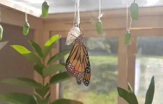 L'envol du papillon monarque