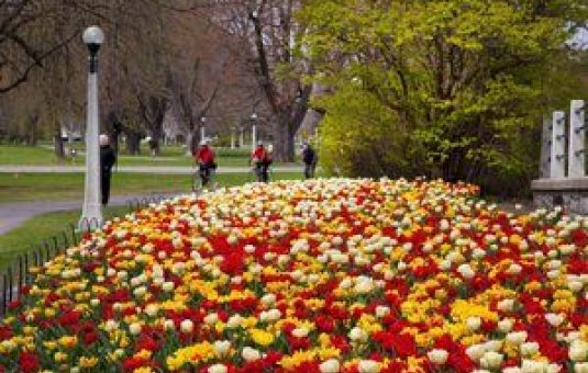 Top Spots for Tulip Gazing in the Capital