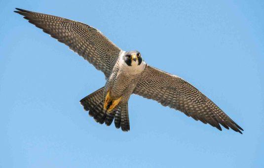 C'est la période de nidification du faucon pèlerin au parc de la Gatineau
