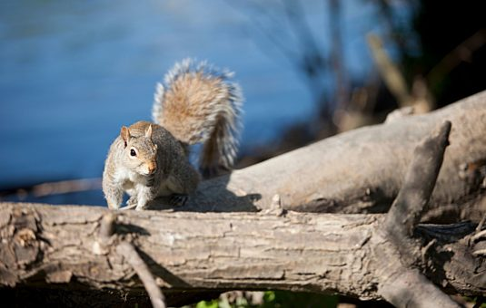 Squirrel on log by the water