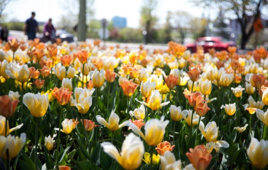 Tulip Planting Season Is Here