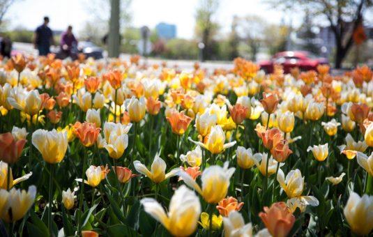 C'est le temps de planter les tulipes