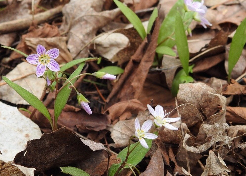 Delicate white and pinkish five-petal flowers growing through a carpet of leaf litter.