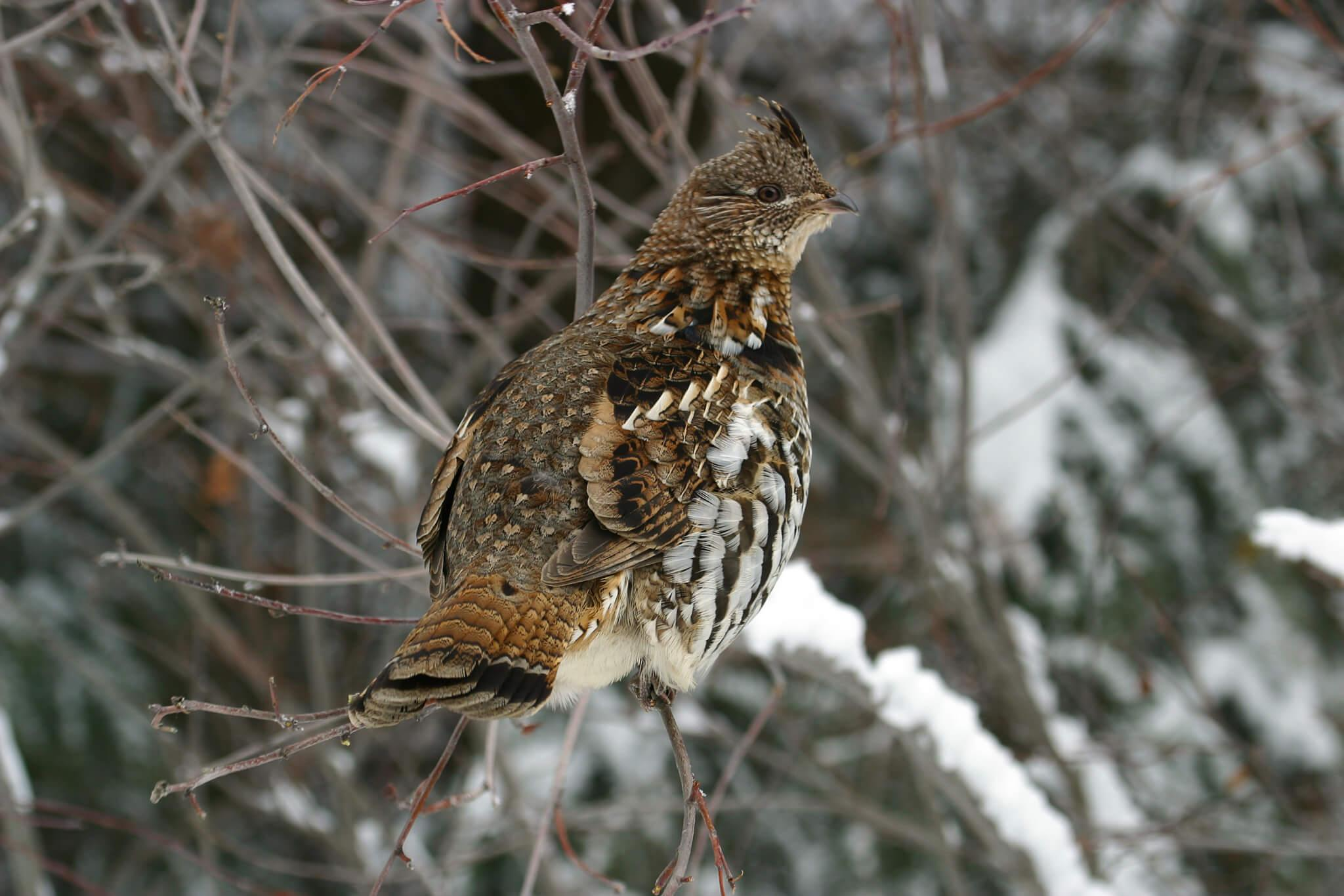 A ruffed grouse perched on a tree, in winter