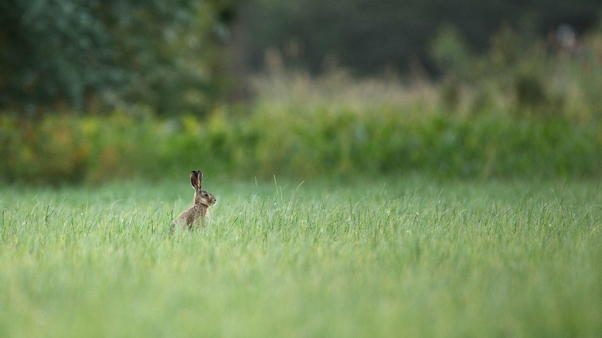 Un lièvre dans un champ d'herbes longues