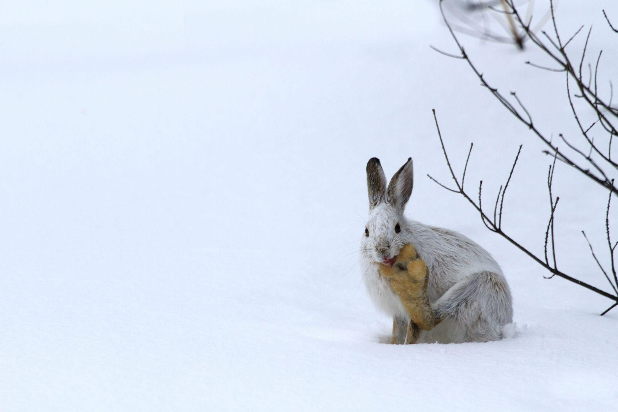 A snowshoe hare in the snow