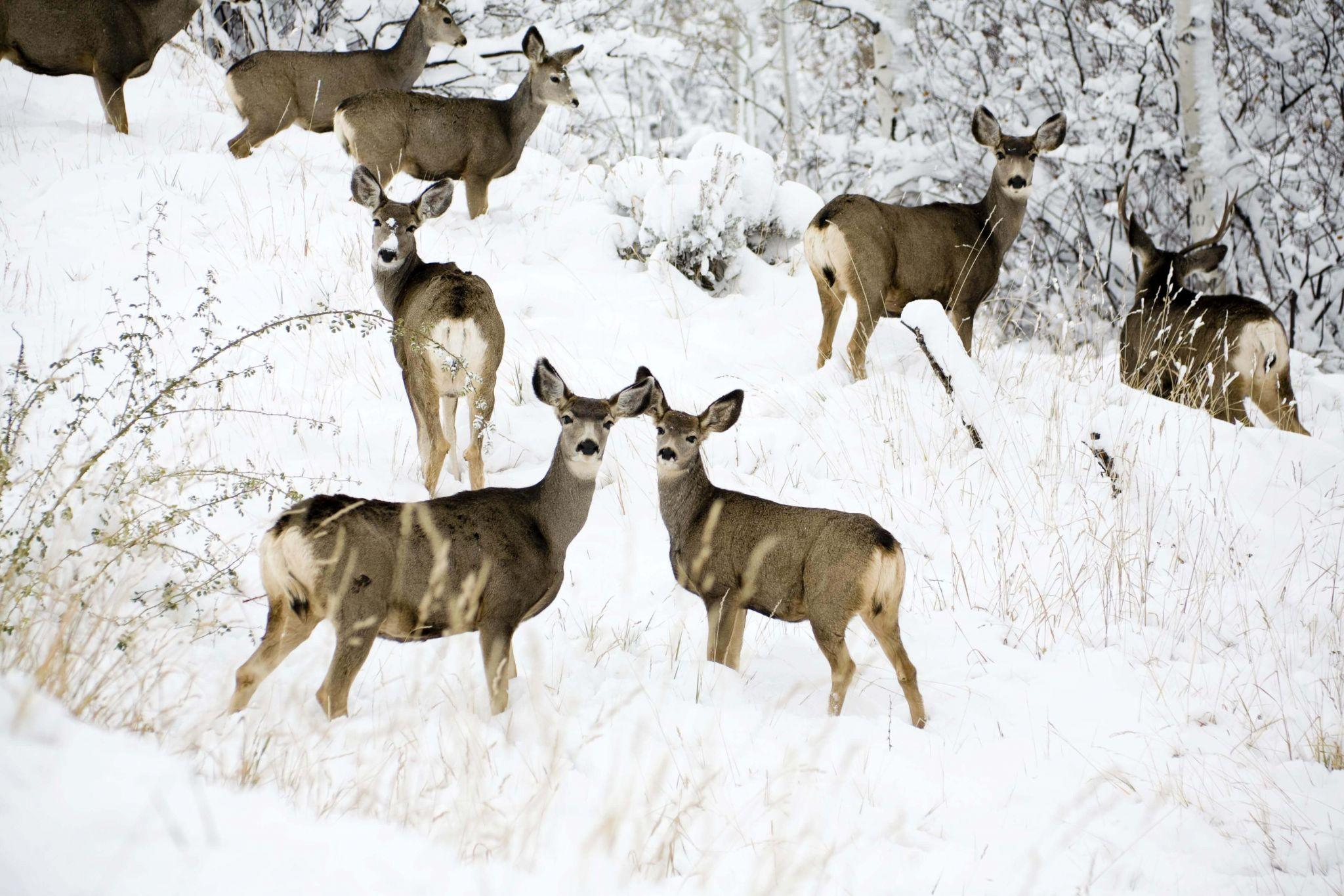 Eight white-tailed deer in the snow