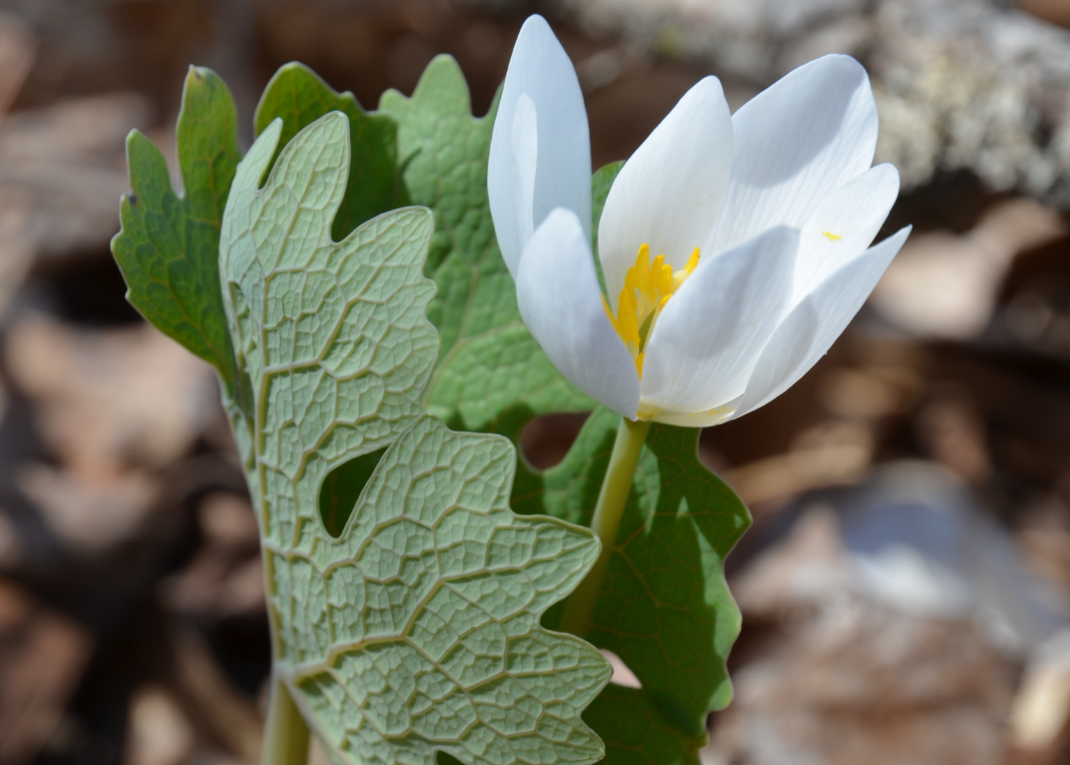 Single half-closed white flower, and large, lobed leaf.